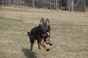 Soren retrieving his ball