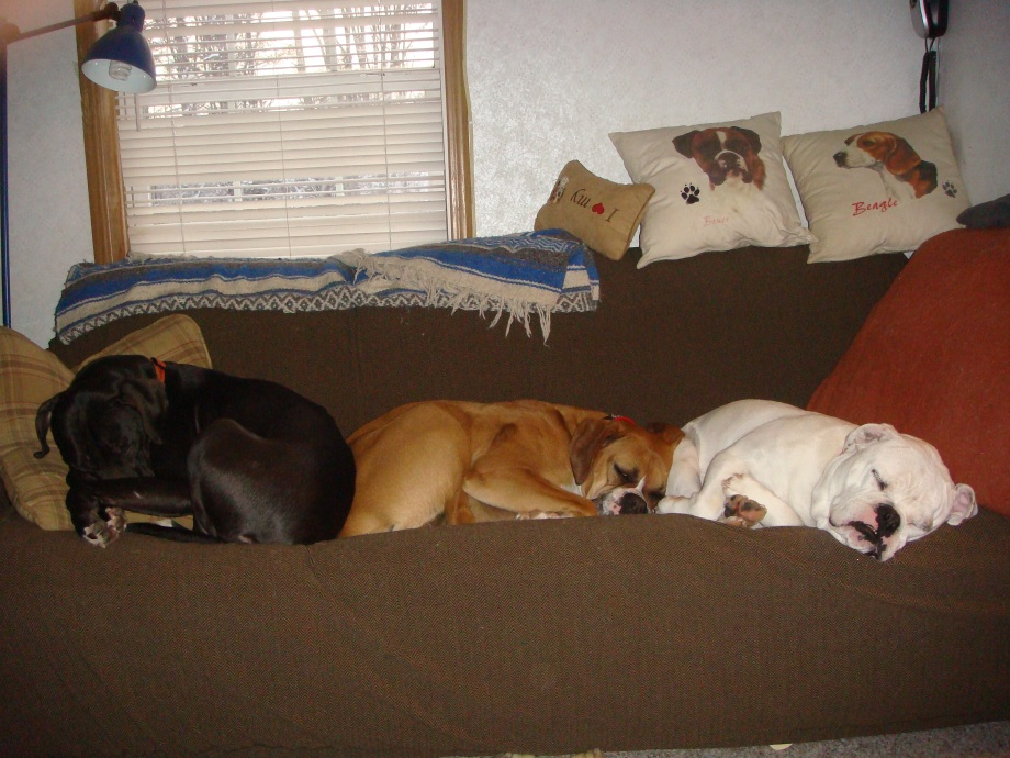 The bullys lined up. Olive the pit bull, Kendal the boxer, and Valentine the english bulldog