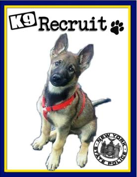 NYSP K9, red boy ready to grow into a dual pupose K9 for New York State Police